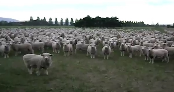 Manifestation de moutons